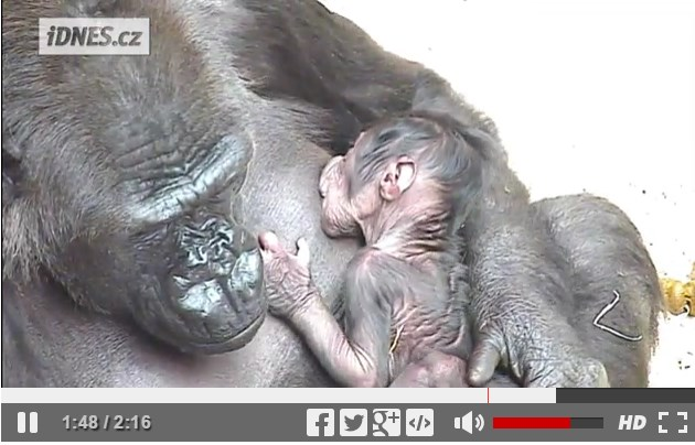 Prirodzená poloha -<br/>dojčenie malého šimpanza